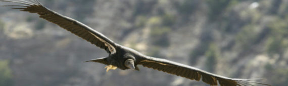 Cases of lead exposure among California condors living along the Arizona-Utah state line are down