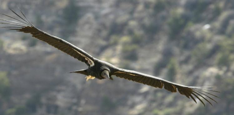 CA Condor Lead Poisoning in California