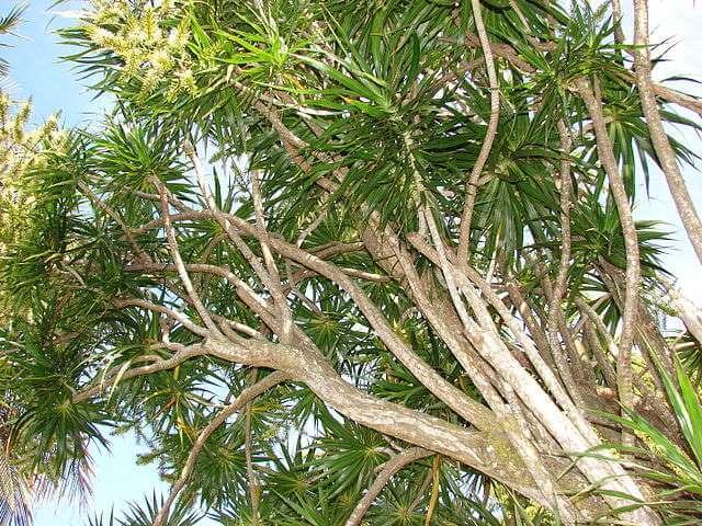 Dracaena marginata (Red-Edged Dracaena)