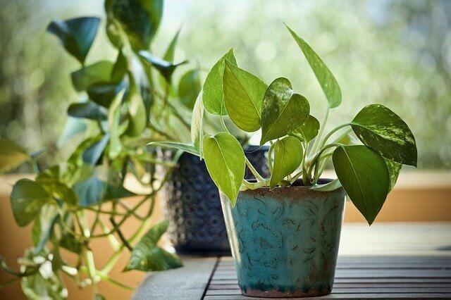 Epipremnum aureum (Devil's Ivy)