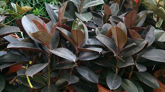Ficus robusta (Rubber Plant)
