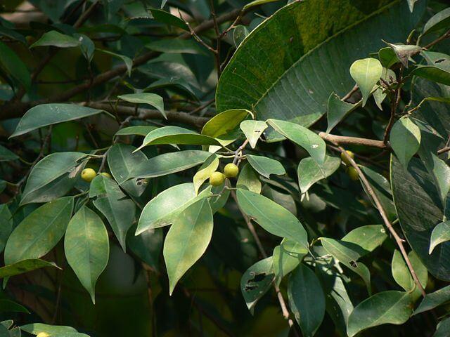 Ficus benjamina (Weeping Fig)