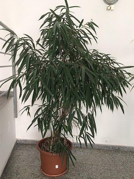 """Ficus maclellandii """"Alii"""" (Ficus Alii)"""