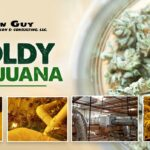 The Role of Mold Inspections in Producing Quality Marijuana