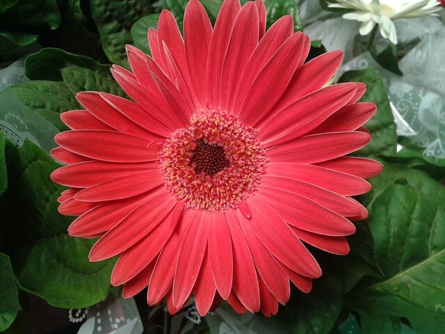 Gerbera jamesonii (Gerbera Daisy)