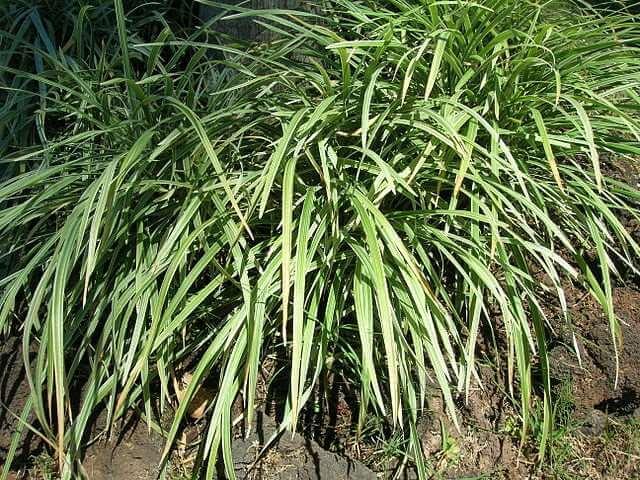 Liriope spicata (Lilyturf)